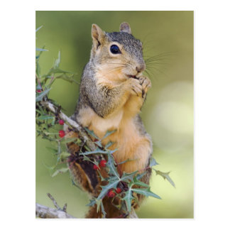 Eastern Fox Squirrel, Sciurus niger, adult Postcard