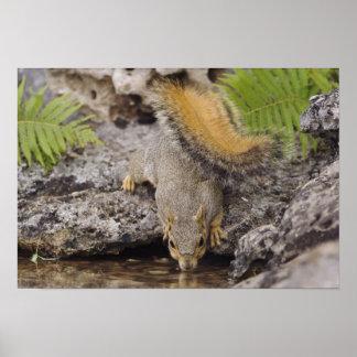 Eastern Fox Squirrel, Sciurus niger, adult Poster