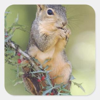 Eastern Fox Squirrel, Sciurus niger, adult Square Sticker