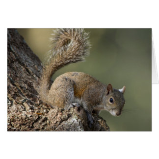 Eastern Gray Squirrel, or grey squirrel Card