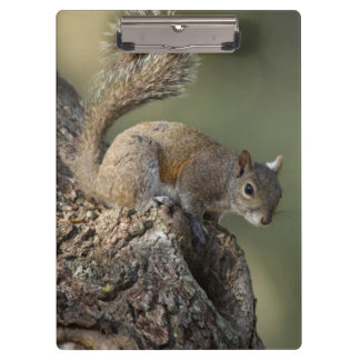 Eastern Gray Squirrel, or grey squirrel Clipboard