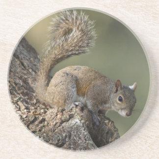 Eastern Gray Squirrel, or grey squirrel Drink Coaster