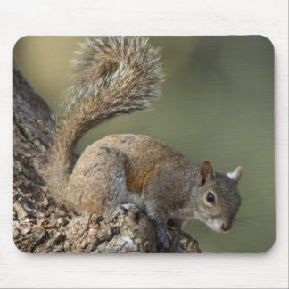 Eastern Gray Squirrel, or grey squirrel Mouse Pad