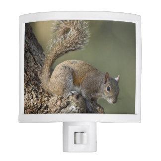 Eastern Gray Squirrel, or grey squirrel Night Light