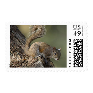 Eastern Gray Squirrel, or grey squirrel Postage