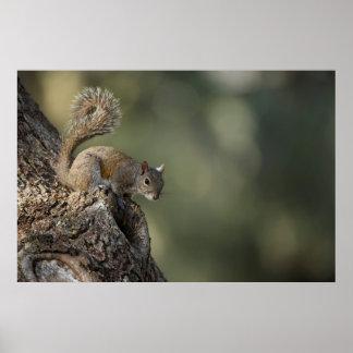 Eastern Gray Squirrel, or grey squirrel Poster