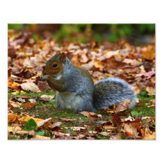 Eastern Gray Squirrel Photo Print