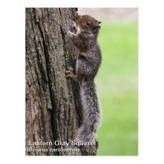 Eastern Gray Squirrel Postcard