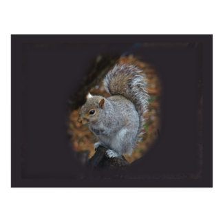 Eastern Gray Squirrel - Sciurus carolinensis Postcard