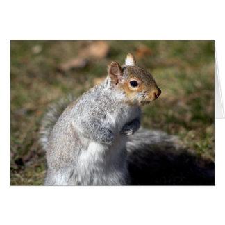 Eastern grey squirrel  card