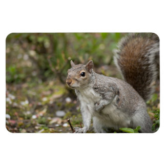 Eastern Grey Squirrel Magnet