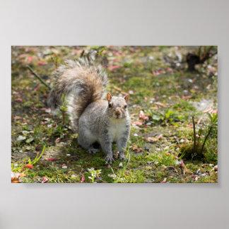 Eastern Grey Squirrel Poster