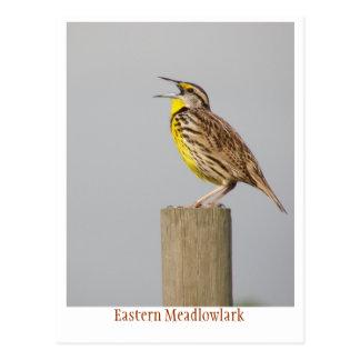 Eastern Meadlowlark Post Card