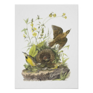 Eastern Meadowlark by Audubon Poster