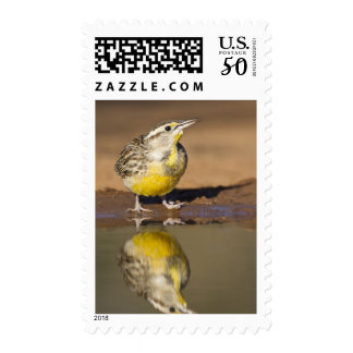 Eastern meadowlark drinking at ranch pond postage