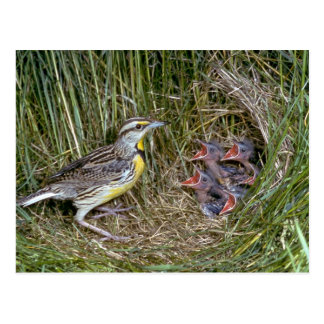 Eastern Meadowlark with young Post Card