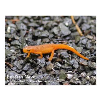 Eastern Newt Postcards