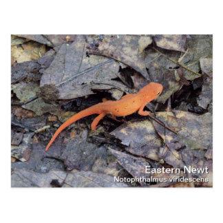 Eastern Newt Postcard