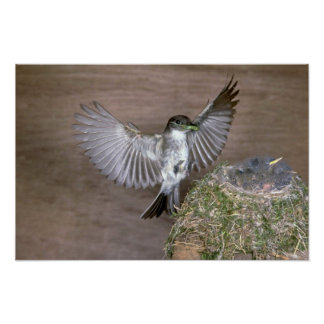 Eastern Phoebe approaching nest Poster
