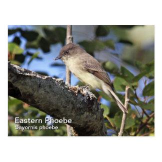 Eastern Phoebe Postcard