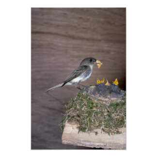 Eastern Phoebe with young Print