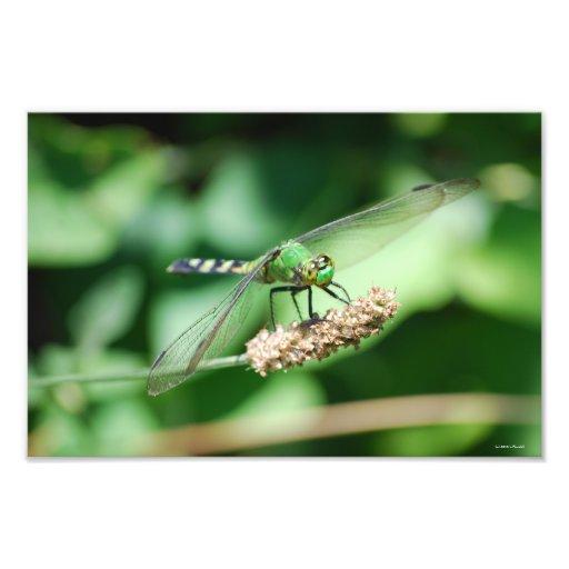 Eastern Pondhawk Dragonfly print Photo Print