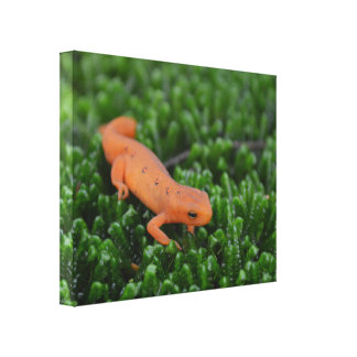 Eastern Red Spotted Newt Canvas Print