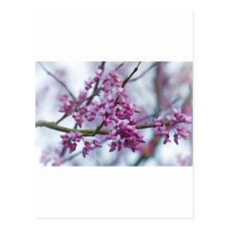 Eastern Redbud Wildflowers - Cercis canadensis Postcards