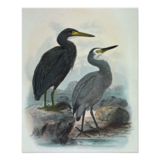 Eastern Reef Egret and White-Faced Heron Poster