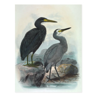 Eastern Reef Egret and Whitefaced Heron Postcard