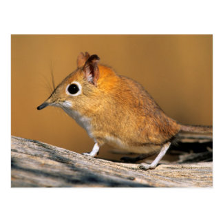 Eastern Rock Elephant Shrew on lo Postcard
