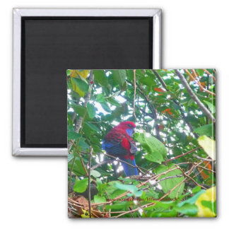 Eastern Rosella in Cotoneaster - Magnet