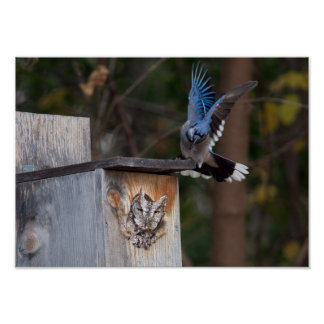Eastern Screech Owl and Blue Jay Poster