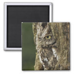 Eastern Screech Owl Gray Phase) Otus asio, 2 Inch Square Magnet