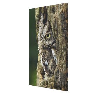 Eastern Screech Owl (Gray Phase) Otus asio Canvas Print