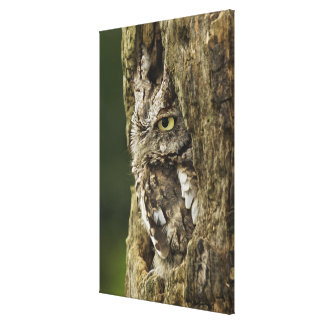 Eastern Screech Owl Gray Phase) Otus asio, Canvas Print