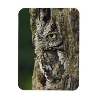 Eastern Screech Owl (Gray Phase) Otus asio Magnet