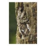 Eastern Screech Owl Gray Phase) Otus asio, Photo Print