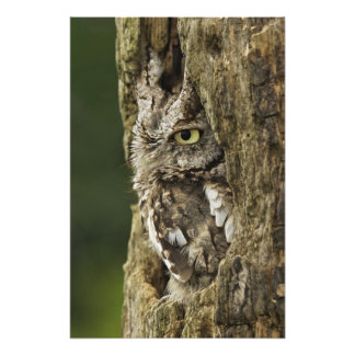 Eastern Screech Owl Gray Phase) Otus asio, Photograph
