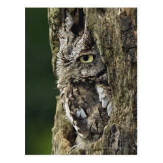 Eastern Screech Owl (Gray Phase) Otus asio Postcard