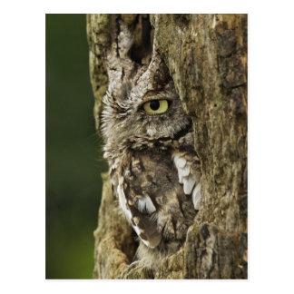 Eastern Screech Owl Gray Phase) Otus asio, Postcard
