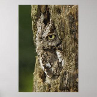 Eastern Screech Owl Gray Phase) Otus asio, Poster