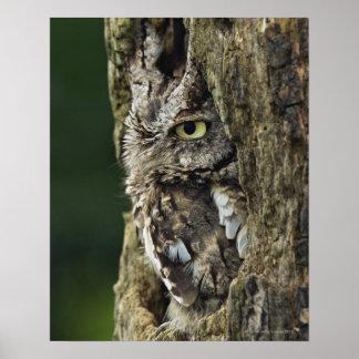 Eastern Screech Owl (Gray Phase) Otus asio Poster