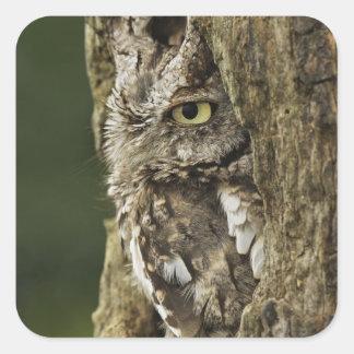 Eastern Screech Owl Gray Phase) Otus asio, Stickers