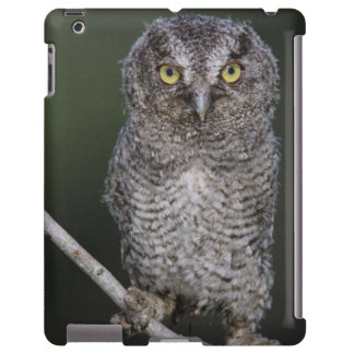 Eastern Screech-Owl, Megascops asio, Otus 2