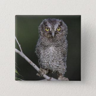 Eastern Screech-Owl, Megascops asio, Otus 2 Button