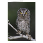 Eastern Screech-Owl, Megascops asio, Otus 2 Card