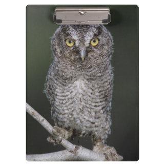 Eastern Screech-Owl, Megascops asio, Otus 2 Clipboard