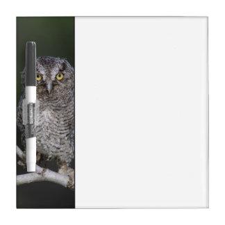 Eastern Screech-Owl, Megascops asio, Otus 2 Dry-Erase Board