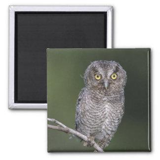 Eastern Screech-Owl, Megascops asio, Otus 2 Inch Square Magnet